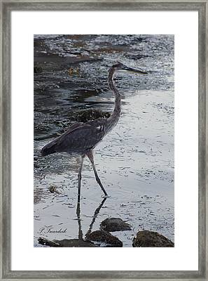 Great Blue Heron In The Shallows Framed Print