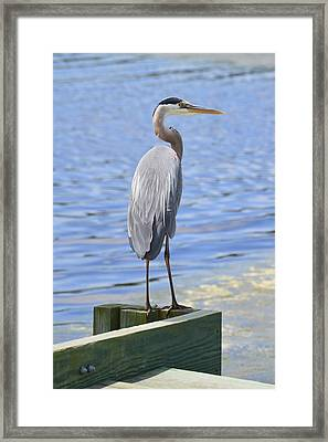 Framed Print featuring the photograph Great Blue Heron by Judith Morris