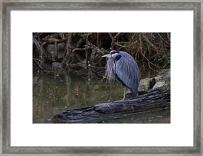 Great Blue Heron Framed Print by Julie Jamieson