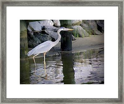 Great Blue Heron - Mealtime Framed Print by Brian Wallace