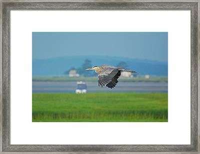 Great Blue Heron Framed Print by Nancy Landry