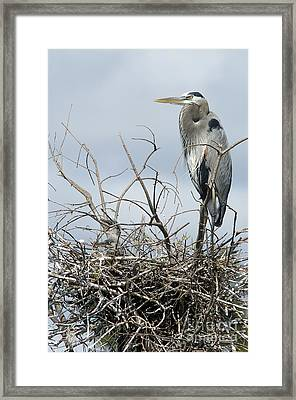 Great Blue Heron Nest With New Chicks Framed Print by Jane Axman