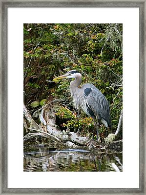 Great Blue Heron On Log Framed Print by Randall Ingalls