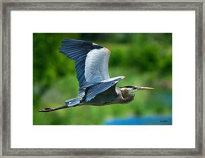 Great Blue Heron On The Platte Framed Print by Stephen  Johnson