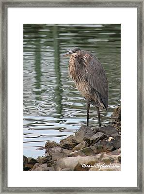 Framed Print featuring the photograph Great Blue Heron On Watch by Robert Banach