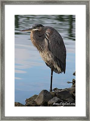 Framed Print featuring the photograph Great Blue Heron One Legged Stance by Robert Banach