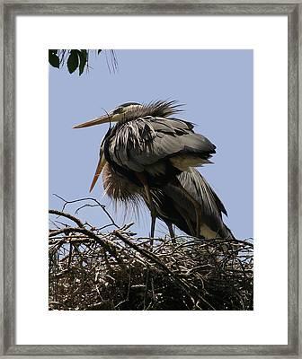 Great Blue Heron Pair Framed Print by David Lynch