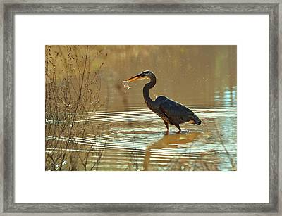 Great Blue Heron Pond Catch - C3197p Framed Print by Paul Lyndon Phillips