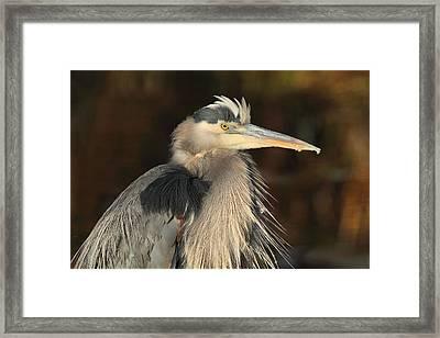 Great Blue Heron Portrait Framed Print by Daniel Behm