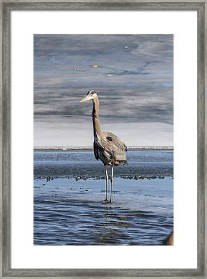 Great Blue Heron Portrait Framed Print by Jill Bell