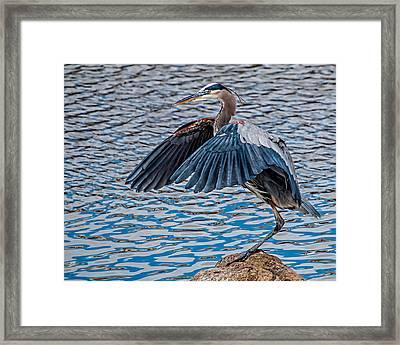 Great Blue Heron Pose Framed Print