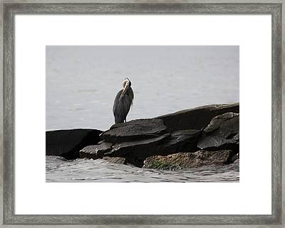 Framed Print featuring the photograph Great Blue Heron Preening by Rebecca Sherman