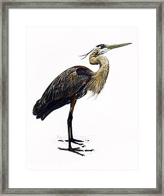 Great Blue Heron Framed Print by Rachel Root
