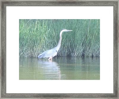 Great Blue Heron Reflecting Framed Print by Debbie Nester