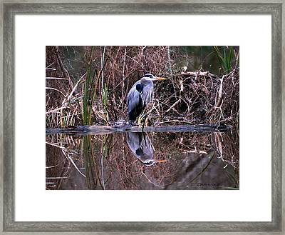Great Blue Heron Reflecting Framed Print by Gene Chauvin