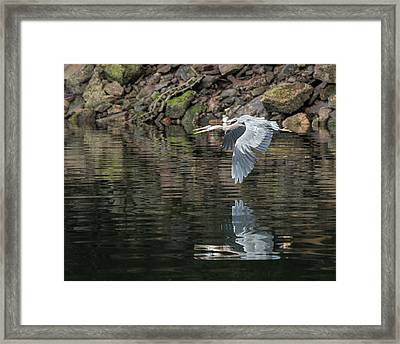 Great Blue Heron Reflections Framed Print