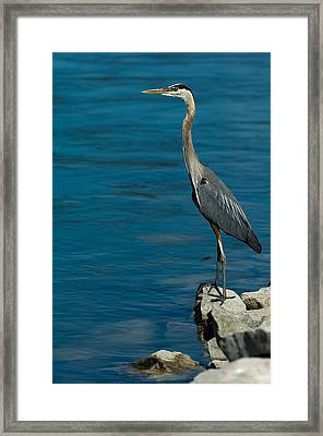 Great Blue Heron Framed Print by Sebastian Musial