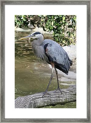 Great Blue Heron Framed Print by Shoal Hollingsworth