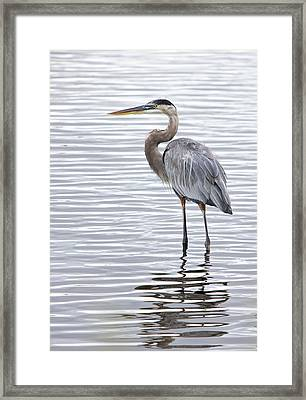 Great Blue Heron Standing In Water Framed Print