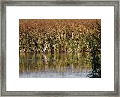 Great Blue Heron Framed Print by Steven Ralser
