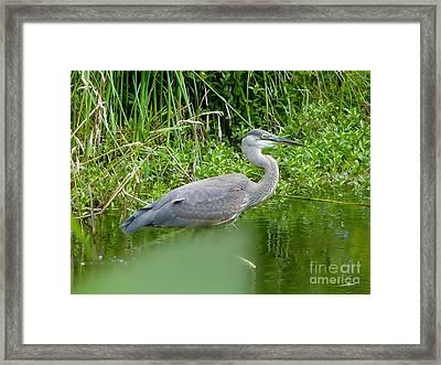 Framed Print featuring the photograph Great Blue Heron  by Susan Garren