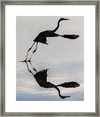 Great Blue Heron Takeoff Framed Print by John Daly