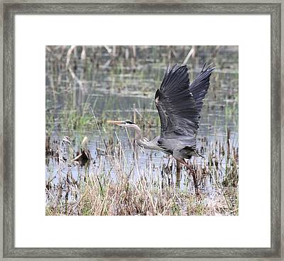 Great Blue Heron Taking Flight Framed Print by Angie Vogel