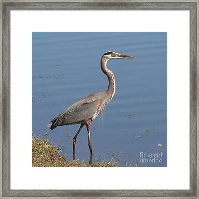 Framed Print featuring the photograph Great Blue Heron Wading by Bob and Jan Shriner