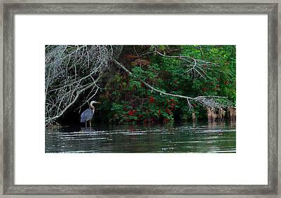 Great Blue Heron Wading Framed Print by James Hammen