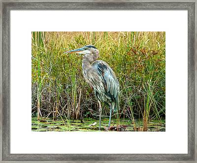 Great Blue Heron Waiting For Supper Framed Print by Eti Reid