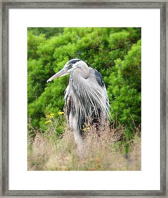 Great Blue Heron Watching And Waiting Framed Print by Brian Chase