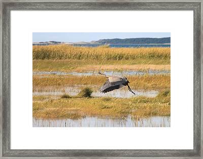 Great Blue Heron Wellfleet Bay Marsh Framed Print