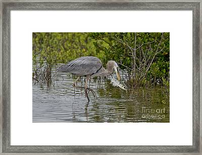 Great Blue Heron With Fish Framed Print by Anthony Mercieca