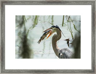 Great Blue Heron With Fish In Mouth Framed Print