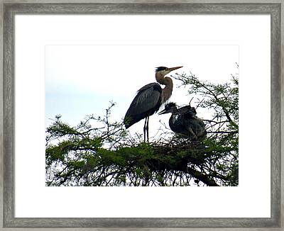 Great Blue Heron With Fledglings II Framed Print by Suzanne Gaff