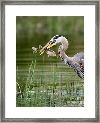 Great Blue Heron With Prey Framed Print