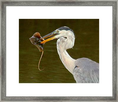 Great Blue Heron With Stingray Framed Print