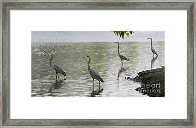 Great Blue Herons Framed Print by Bob and Jan Shriner