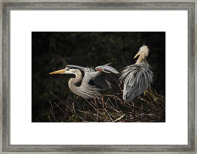 Great Blue Herons  Framed Print