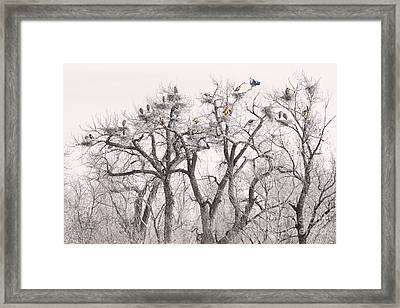 Great Blue Herons Colonies  Framed Print by James BO  Insogna