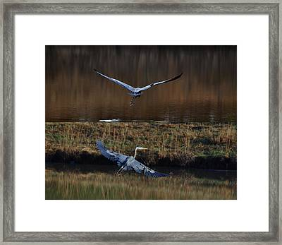 Great Blue Herons In Morning Flight 1346d2 Framed Print by Paul Lyndon Phillips
