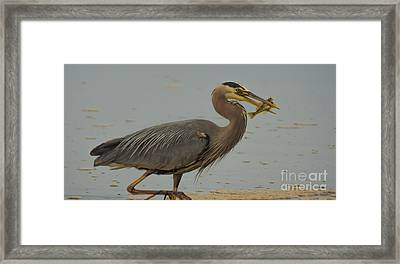 Great Blue Herron Eating Fish Framed Print