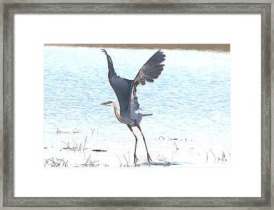 Great Blue Lift Off Series 1 Framed Print by Roy Williams