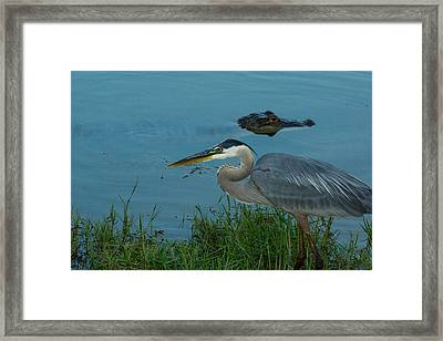 Great Blue Framed Print by Mitford Fontaine