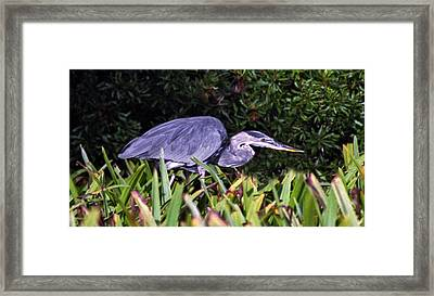 Great Blue On The Hunt. Chassahowtizka N.w.r. Framed Print
