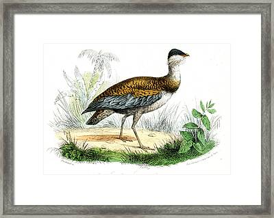 Great Bustard Framed Print by Collection Abecasis