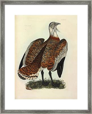 Great Bustard Framed Print by Natural History Museum, London