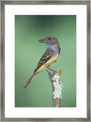 Great Crested Flycatcher Myiarchus Framed Print