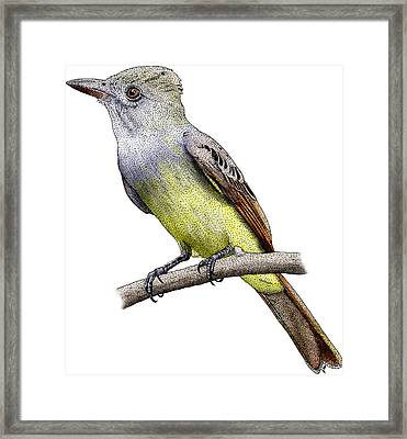 Great Crested Flycatcher Framed Print by Roger Hall