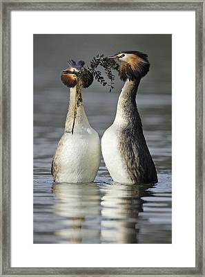 Great Crested Grebe Courtship Framed Print